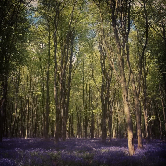 Blue bell woods in Marlborough
